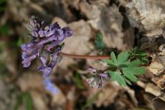 Odvas keltike - Coridalis virga-aurea