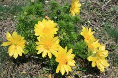 Tavaszi hérics - Adonis vernalis
