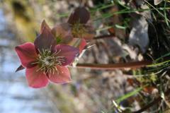 pirosló hunyor - Helleborus purpurascens 2