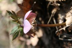 pirosló hunyor - Helleborus purpurascens